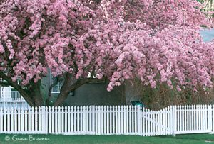 c3-pinktreenfence.jpg